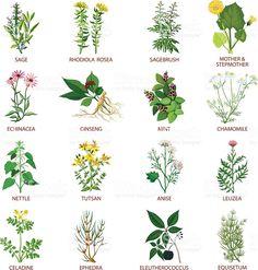 약초 잎사귀 일러스트에 대한 이미지 검색결과