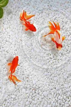 Htc Wallpaper, Beach Wallpaper, Nature Wallpaper, Carpe Koi, Fish Ponds, Beautiful Fish, Beautiful Places, Ocean Creatures, Colorful Fish