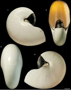 Plate published in a paper by Royal Mapes and Neil Landman about albino Nautilus shells, The Nautilus vol. 126, number 3, 2012.