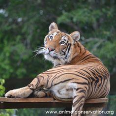 BENGAL TIGER @ ANIMAL CONSERVATION RESERVE GUATEMALA