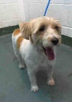 SAFE in foster care --- LENNY (A1378866) I am a neutered male tan and white Jack (Parson) Russell Terrier. The shelter staff think I am about 5 years old. I was turned in by my owner and I may be available for adoption on 01/18/2015. — hier: Miami Dade County Animal Services. https://www.facebook.com/urgentdogsofmiami/photos/pb.191859757515102.-2207520000.1421600633./913025742065163/?type=3&theater