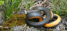Northern Ring-necked snake, Diadophis punctatus edwardsi. Photo: Joe Crowley.