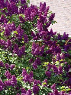 Lavender Lady Lilac - gardenfuzzgarden