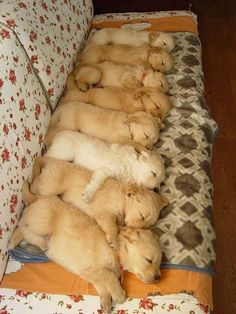 Golden Retriever Pups! All lined up for naptime!