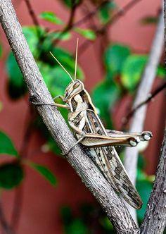 A Cricket in my garden.