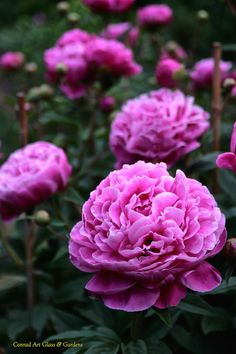 rare 'Tinka Philips' peonies http://www.deal-shop.com/product/cool-mist-humidifier/