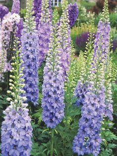 Delphinium Hummingbirds love delphinium, which blooms in early summer. Height for these perennials can average anywhere from 2 to 8 feet tall, depending on variety. Delphinium requires rich soil, and areas with relatively cool summers.