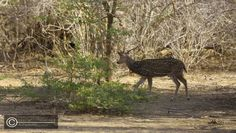a spotted deer wondering at the Yala National Park