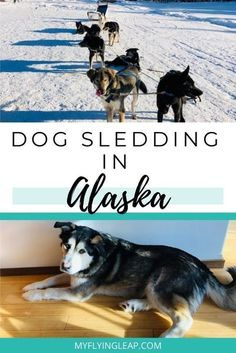 One of the top things to do in Alaska is dog sledding. But, how do you find an ethical place that treats the dogs well? Here is a great place. You'll fall in love with the dogs and 2will be sure to have a great time. #dogsledding #dogsleddingalaska #dogmushing #dogmushingalaska #fairbanksalaskadogsledding Alaskan Husky, Alaskan Malamute, Dog Sledding Alaska, Alaska Cruise Tips, Canadian Eskimo, Moving To Alaska, Fairbanks Alaska, Visit Usa, Working Dogs
