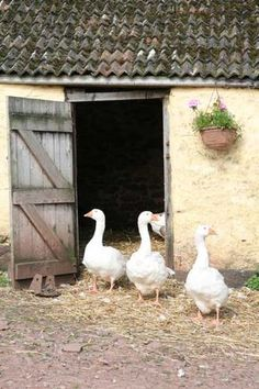 geese on the farm checking things out! Country Farm, Country Life, Country Girls, Country Living, Country Style, Farm Animals, Animals And Pets, Down On The Farm, Farms Living