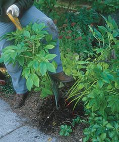Tips for dividing perennials & a great list of timing and techniques for various plants.