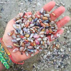 Sanibel live colorful coquinas ALWAYS put them back! Clearwater Florida, Sarasota Florida, Florida Beaches, Florida Travel, Sanibel Florida, Beach Travel, Sanibel Island, Seashell Art, Seashell Crafts