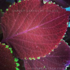 Garden Leaves - 1 in a series from A Gardener's Notebook at http://ift.tt/1aPkCy2 #garden #gardenersnotebook #plants #leaves #nature #series #closeup #coleus