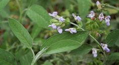 espécie autóctone de Salvia. Plantas aromáticas, medicinais e condimentares: Planta portuguesa estudada para controlar Alzheimer