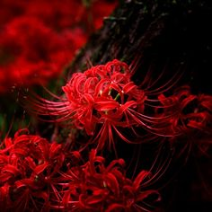 彼岸花 /曼珠沙華: Higanbana /Manjushage  Flower meaning: Never to meet again/Lost memory/Abandonment  Japanese flower of death