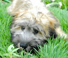 Wallace the Soft Coated Wheaten Terrier Wheaten Terrier Puppy, Animals And Pets, Cute Animals, Glen Of Imaal Terrier, Loyal Dogs, Cute Dog Pictures, Puppy Face, Wild Dogs, Animal Faces