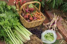 Todays harvest; celery, beetroot, carrots, rhubarb, garlic, purple king beans, snow peas.  December 2012. Katherine Cooper.
