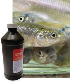 Add life to your leftover minnows by adding a cap full of hydrogen peroxide to your bait bucket. Store in a cool place and change water often, at least every other day. Get tips like these and more by subscribing to Iowa Outdoors magazine. Ice Fishing, Saltwater Fishing, Kayak Fishing, Fishing Tackle, Fishing Stuff, Fishing Knots, Carp Fishing, Catfish Fishing, Fishing Guide