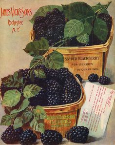 Boxes of blackberries. Back cover illustration from 'Vick's Floral Guide' U. Department of Agriculture, National Agricultural Library. Victorian Flowers, Vintage Flowers, Seed Illustration, Seed Art, Etiquette Vintage, Vintage Seed Packets, Seed Packaging, Seed Catalogs, Vintage Farm