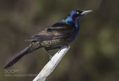 Common Grackle / Quiscale bronze by tfpa via http://ift.tt/1MQDepL