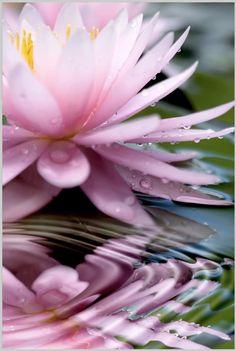 Pink Lotus Flower On Water Image Pic