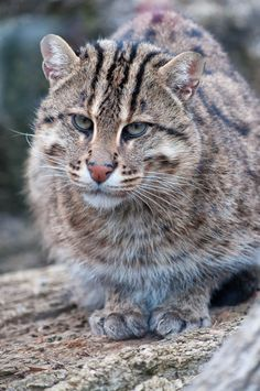 Fishing Cat. its face reminds me of that actor that plays in the Hellboy movies and as Clay in Sons of Anarchy...weird looking cat haha