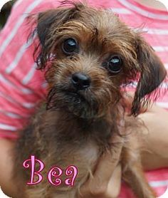 New Jersey, NJ - Yorkie, Yorkshire Terrier Mix. Meet Brick NJ - Bea, a puppy for adoption. http://www.adoptapet.com/pet/11426369-new-jersey-new-jersey-yorkie-yorkshire-terrier-mix