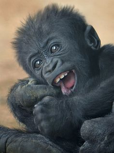 Denny, a four and a half month old gorilla, shows off his chompers at the San Diego Zoo.