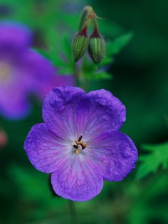 Perennial Geranium  There are a wealth of geraniums perfect for cottage gardens. 'Johnson's Blue' is among the most common; it offers beautiful blue-purple flowers in early summer.  Name: Geranium 'Johnson's Blue'  Growing conditions: Full sun or part shade and well-drained soil  Height: To 18 inches tall