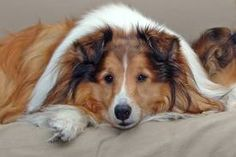 Google Image Result for http://www.sheltienation.com/photos/uncategorized/2007/04/24/toto.jpg