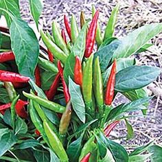 Thai hot chili peppers - Can't find them in stores; need to grow them
