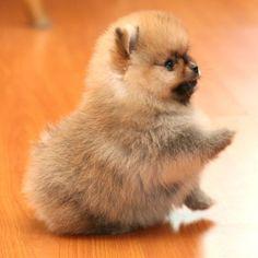 Pouncing Pomeranian                                                       …