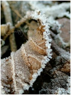 Kristen Olivares-Fine Art Photography-Morning frost on a dried leaf