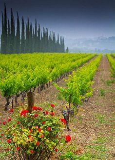 Roses at the end of the Vines, Sainte-Cécile les Vignes, Provence