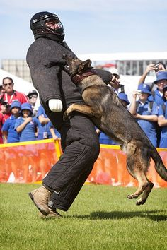 Military Working Dog Alto display attack at the Clipsal 500