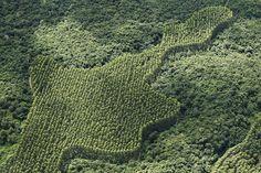 Plantação de eucaliptos x mata nativa, Cidelândia (MA)