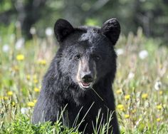 Beautiful black bear in hanging out in the fields of Cades Cove.