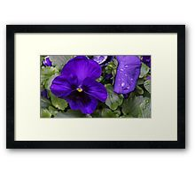 Purple Pansy in Full Bloom Framed Print