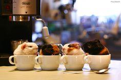Sweet Coffees by ©Pacifist, via Flickr; Latte, Capuchino, Caramel Macchiato & Espresso... Guinea Pigs, Dog Food Recipes, Rabbit, Bunny, Bunny Rabbit, Bunnies, Dog Recipes, Rabbits, Rabbits