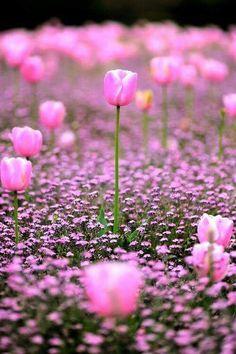 Delicadas tulipas