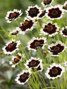 Coreopsis Jive - Ive never seen this one! It would be lovely in my Folly Garden, I think. - My Secret Garden Outdoor Plants, Garden Plants, Outdoor Gardens, Modern Gardens, Small Gardens, Shade Garden, Vegetable Garden, Black Flowers, Beautiful Flowers