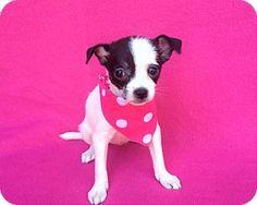 Burbank, CA - Maltese Mix. Meet Hattie, a puppy for adoption. http://www.adoptapet.com/pet/16682936-burbank-california-maltese-mix