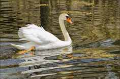 Swan a Swimmin By LeeeAnn McLaneGoetz McLaneGoetzStudioLLC.com It was a beautiful day in may and the Swan was enjoying the swim in the river that leads to Lake Saint Clair. Harrison Charter Township, MI 48045 #swan,#Michigan