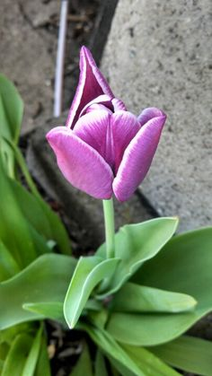 White-tipped purple tulip Purple Tulips, Photo Ideas, Facebook, My Favorite Things, Plants, Photos, Pictures, Flora, Plant