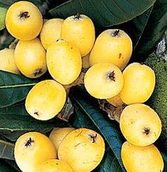 Bermuda's Local Loquats: Four Delicious Tastes To Try