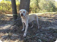 Bishopville, SC - Labrador Retriever Mix. Meet Cas, a dog for adoption. http://www.adoptapet.com/pet/16891885-bishopville-south-carolina-labrador-retriever-mix