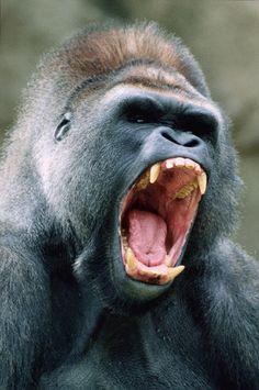 Esneyen goril