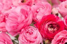 #Pink #ranunculus at Carlsbad #Flower Fields