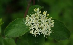 Cornouiller sanguin à fleurs blanches et délicates pour les jardins ombragés