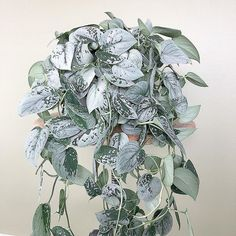 scindapsus painted silvery Ann scindapsus painted s ., scindapsus painted silvery Ann scindapsus painted s . Easy House Plants, House Plants Decor, Plant Decor, Cactus Decor, Cactus Art, Cactus Painting, Hanging Plants, Indoor Plants, Hanging Gardens